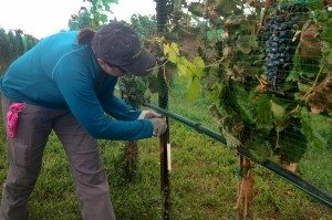 Linda Brauns of Evergreen prepares to harvest barbera grapes from a vineyard she purchased several years ago and is trying to rehabilitate. Nancy Lofholm