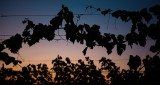 Trellis wire supporting grapevines below a Colorado sunset.