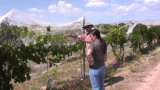 Dr. Horst Caspari explains grapevine training systems, part 1