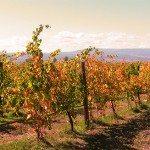 Colorado Vineyards